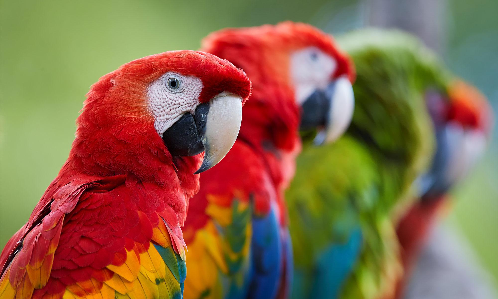 Попугаи Разумный замысел
